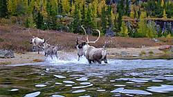 The majestic woodland caribou, featured on Canada's quarter, is at risk owing to habitat loss. Source: Globe & Mail.